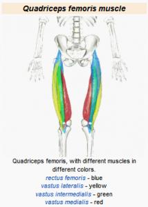 Štvorhlavý sval stehna - quadriceps femoris